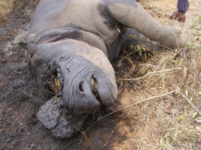 Call for emergency measures as rhino kills near 900