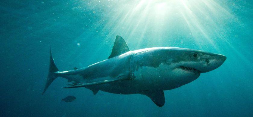 Mega-haai sluit stranden