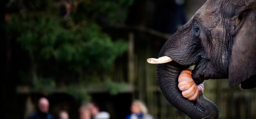 Nieuwe olifanten in Beekse Bergen