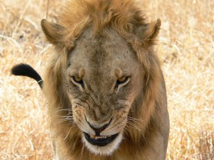 Organisasies bots oor leeujag